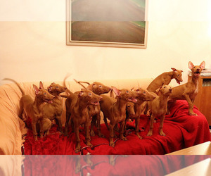 Pharaoh Hound Litter for sale in Plovdiv, Plovdiv, Bulgaria