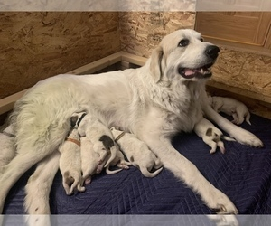 Great Pyrenees Litter for sale in LOVELAND, CO, USA
