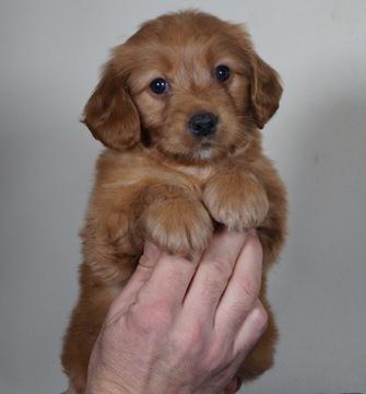 Golden Retriever-Poodle (Toy) Mix puppy