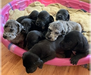 Great Dane Litter for sale in GARRETT, IN, USA