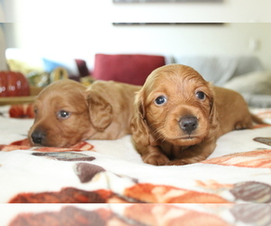 Dachshund Litter for sale in RIALTO, CA, USA