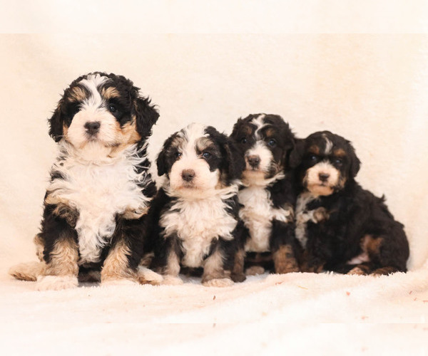 Medium Photo #1 Bernedoodle Puppy For Sale in MILLERSBURG, PA, USA
