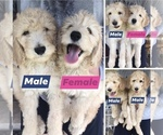 Goldendoodle Puppy For Sale in DENTON, TX, USA
