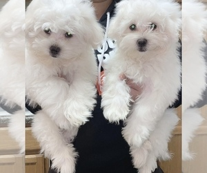 Maltese Litter for sale in KANSAS CITY, MO, USA