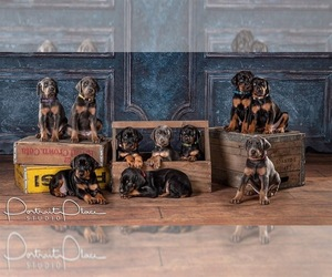 Doberman Pinscher Litter for sale in ONARGA, IL, USA
