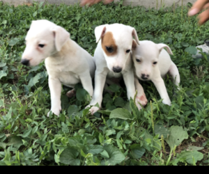 Jack Russell Terrier Litter for sale in KALONA, IA, USA