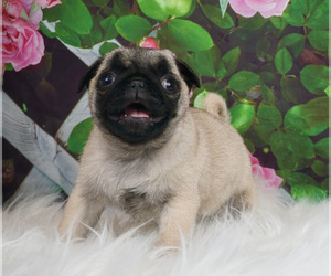 Pug Litter for sale in WARSAW, IN, USA
