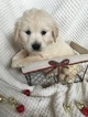 Goldendoodle Puppy For Sale in ALEXANDER SPR, PA, USA