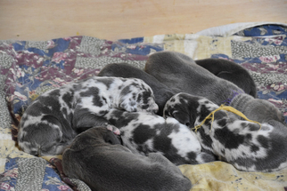 Great Dane Litter for sale in DANIELSON, CT, USA