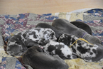 Great Dane Puppy For Sale in DANIELSON, CT, USA