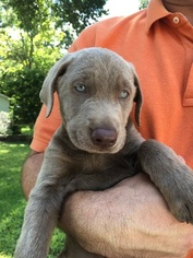 Labrador Retriever Litter for sale in HALLETTSVILLE, TX, USA