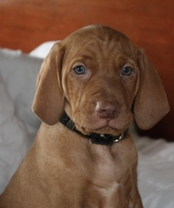 Vizsla Puppy For Sale in RAMSEY, IN, USA