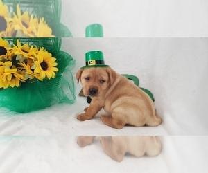 Labrador Retriever Litter for sale in COLLEGE STA, TX, USA