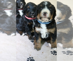 Bernedoodle Litter for sale in ANDERSON, SC, USA