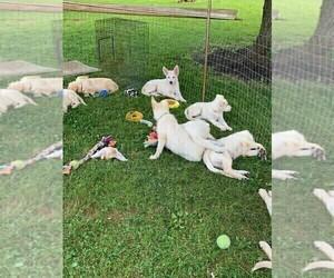 German Shepherd Dog Litter for sale in LINCOLN UNIV, PA, USA
