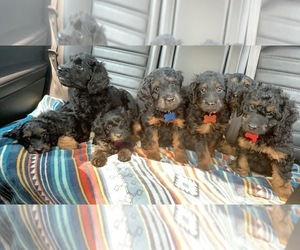 Golden Irish-Poodle (Miniature) Mix Litter for sale in MEQUON, WI, USA