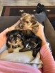 Yorkshire Terrier Puppy For Sale in LA VERNIA, TX, USA