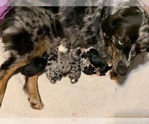 Australian Shepherd Litter for sale in FORT JONES, CA, USA