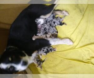 Australian Shepherd Litter for sale in LEWISBURG, TN, USA