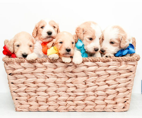 Medium Photo #1 Goldendoodle Puppy For Sale in LITTLE ROCK, AR, USA