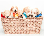Small Photo #1 Goldendoodle Puppy For Sale in LITTLE ROCK, AR, USA