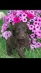 Goldendoodle Puppy For Sale in DECATUR, IN, USA