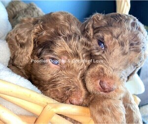 Goldendoodle Litter for sale in RUSKIN, FL, USA