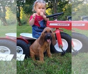 Bloodhound Litter for sale in JOPLIN, MO, USA