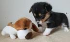 Pembroke Welsh Corgi Puppy For Sale in WINCHESTER, KY, USA
