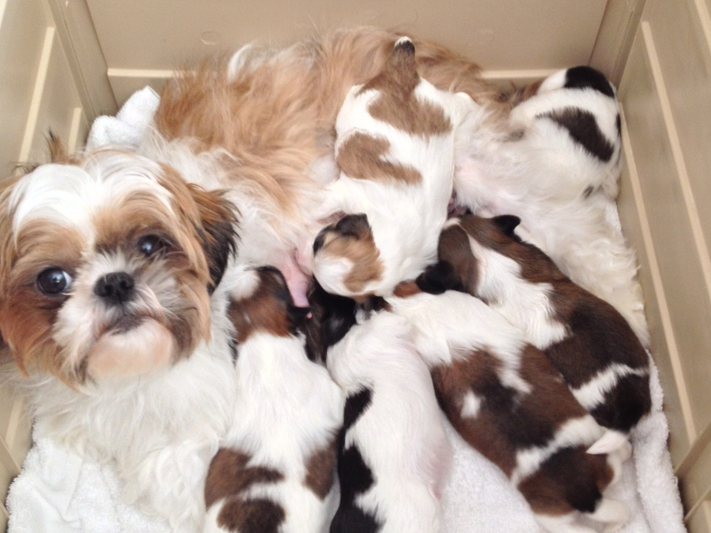View Ad Shih Tzu Litter Of Puppies For Sale Near Michigan