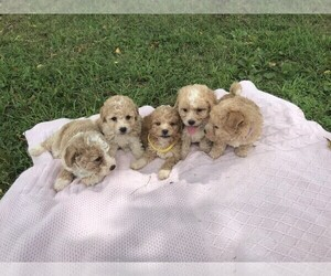 Poochon Litter for sale in NIANGUA, MO, USA