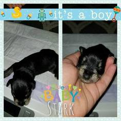Schnauzer (Miniature) Puppy For Sale in CARTHAGE, MO, USA