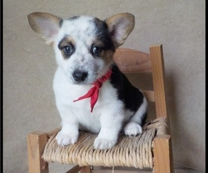 Pembroke Welsh Corgi Litter for sale in MANSFIELD, MO, USA
