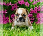 Beabull-English Bulldog Mix Puppy For Sale in NAPPANEE, IN, USA
