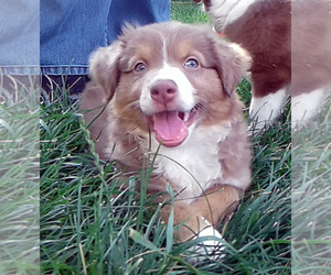 Miniature Australian Shepherd Litter for sale in HILLIARD, OH, USA