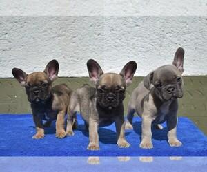 French Bulldog Litter for sale in Soltvadkert, Bacs-Kiskun, Hungary