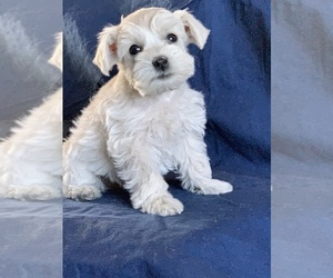 Schnauzer (Miniature) Litter for sale in FOWLER, CO, USA