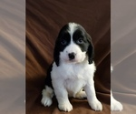 English Springer Spaniel Puppy For Sale in ODESSA, WA, USA