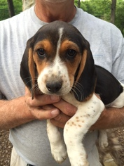 View Ad Beagle Litter Of Puppies For Sale Near North Carolina