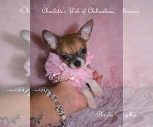Chihuahua Litter for sale in HAMPTON, VA, USA