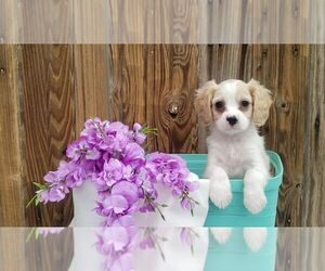 Cavachon Litter for sale in SUGARCREEK, OH, USA