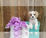Cavachon Puppy For Sale in SUGARCREEK, OH, USA