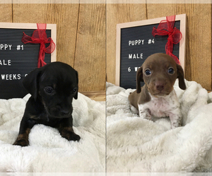 Chiweenie Litter for sale in CONCORDIA, MO, USA