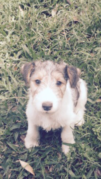 View Ad Wire Fox Terrier Litter Of Puppies For Sale Near Texas