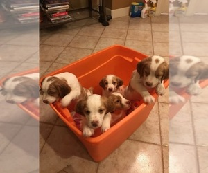 Brittany Litter for sale in SAN ANTONIO, TX, USA