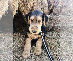 Airedale Terrier Litter for sale in KIMBERLY, ID, USA