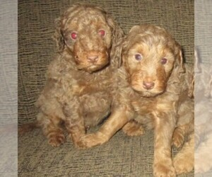 Labradoodle Litter for sale in LINCOLN, AL, USA