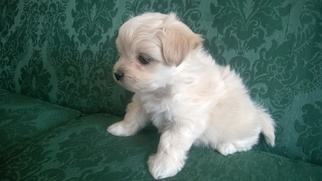 View Ad Morkie Litter Of Puppies For Sale Near Minnesota Mcgregor