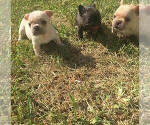 French Bulldog Litter for sale in CORAL GABLES, FL, USA
