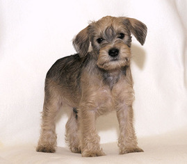 View Ad Schnoodle Miniature Litter Of Puppies For Sale Near